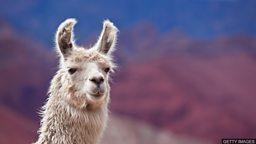 Llama blood clue to beating all flu 大羊驼血液中藏有战胜所有流感病毒的线索