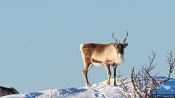 Climate change: Arctic reindeer numbers  crash by half 气候变化:北极驯鹿数量跌半