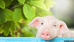 Make a pig's ear of something 搞得一团糟