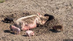 As happy as a pig in muck 乐不可支