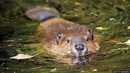 Beavers to become protected species  in Scotland 河狸将成为苏格兰保护动物