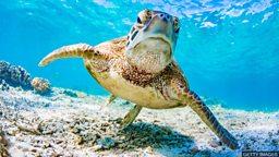 Turtle navigation discovery 新发现:绿海龟辨别方向的方法