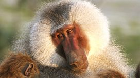 Image for Living with Baboons
