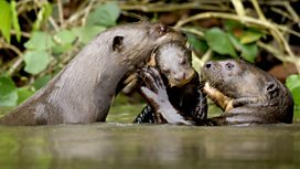Image for Giant Otters of the Amazon