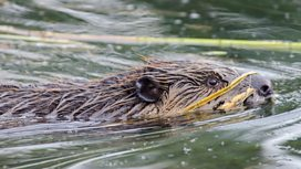 Image for Beavers Behaving Badly