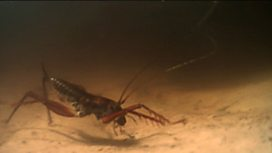 New swimming cave cricket species filmed
