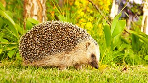 Image for Help the hedgehogs