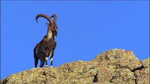 Adaptation of walia ibex in finding a niche habitat