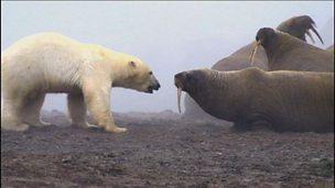 How polar bears adapt to melting ice caps