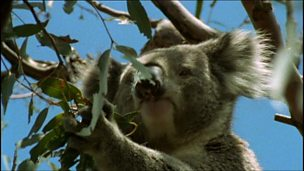 The adaptation and role of eucalyptus as a source of food for koala bears