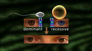 The inheritance of eye colour