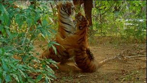 Image for Tiger fight