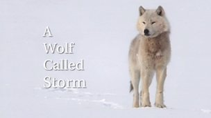 Image for A Wolf Called Storm
