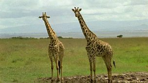Why do giraffes have long necks?