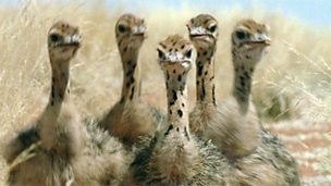 How ostriches care for their young
