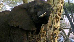 An elephant feeds on an acacia tree