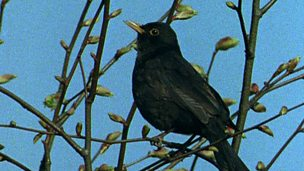 How the changing seasons affect the blackbird
