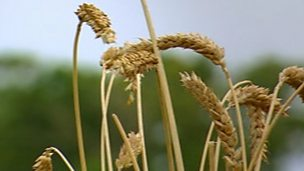 Selective breeding and the 'Green Revolution'