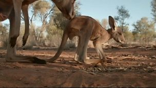 Image for Kangaroo hot-laps
