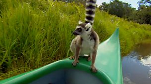 Close lemur encounter