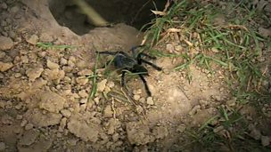 Image for Tarantula hunting