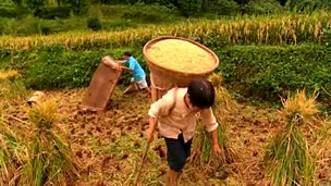 Rice and dairy farming in the Hongya County