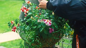 Image for MacAulay and Co: Gardening Tips - Hanging Baskets