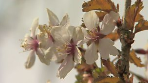 Image for A cherry blossom tree for a small garden