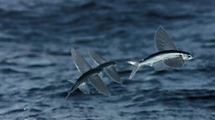 Image for First ever slow-motion footage of flying fish