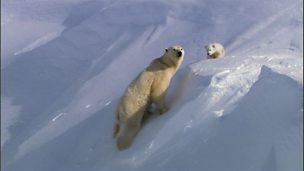 Polar bears in their habitat (no narration)