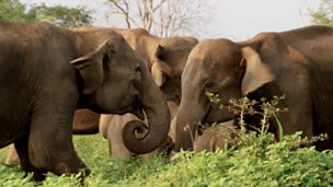 Image for Female Elephants Fight