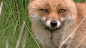 Image for How to spot foxes
