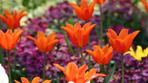 Image for MacAulay and Co: Gardening Tips – Spring Bulbs