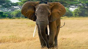 Image for Last Chance for Africa's Elephants?