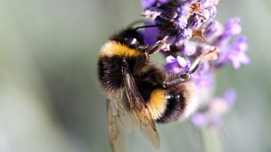 Image for The Plight of the Bumblebee