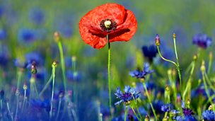 Image for Poppies Are Red, Cornflowers Are Blue