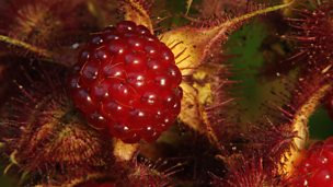 Image for Propagating Rubus