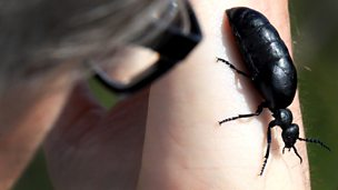 Image for Oil Beetles