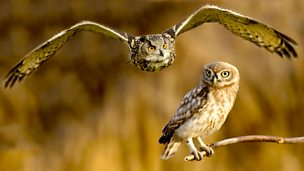 Image for The Little Owl and Eagle Owl