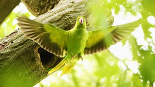 Image for The Rose-Ringed Parakeet