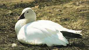 Image for Paul Gallico - The Snow Goose
