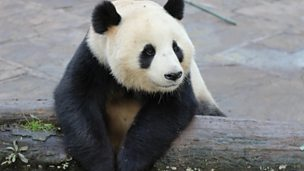 Image for Mel meets a giant panda