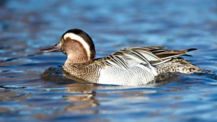 Image for Garganey