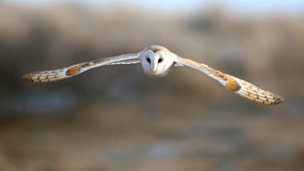 Image for Barn Owl