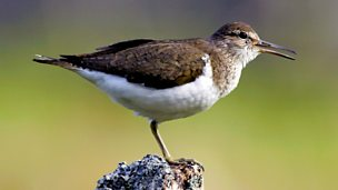 Image for Common Sandpiper