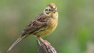 Image for Yellowhammer