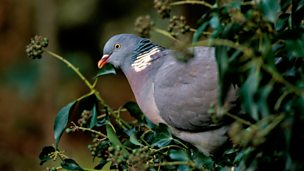 Image for Wood Pigeon