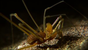 Image for No-eyed harvestman