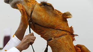 Image for Camels and Culture