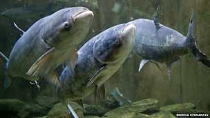 Image for Tackling metre-long carp 'could cost $18bn'